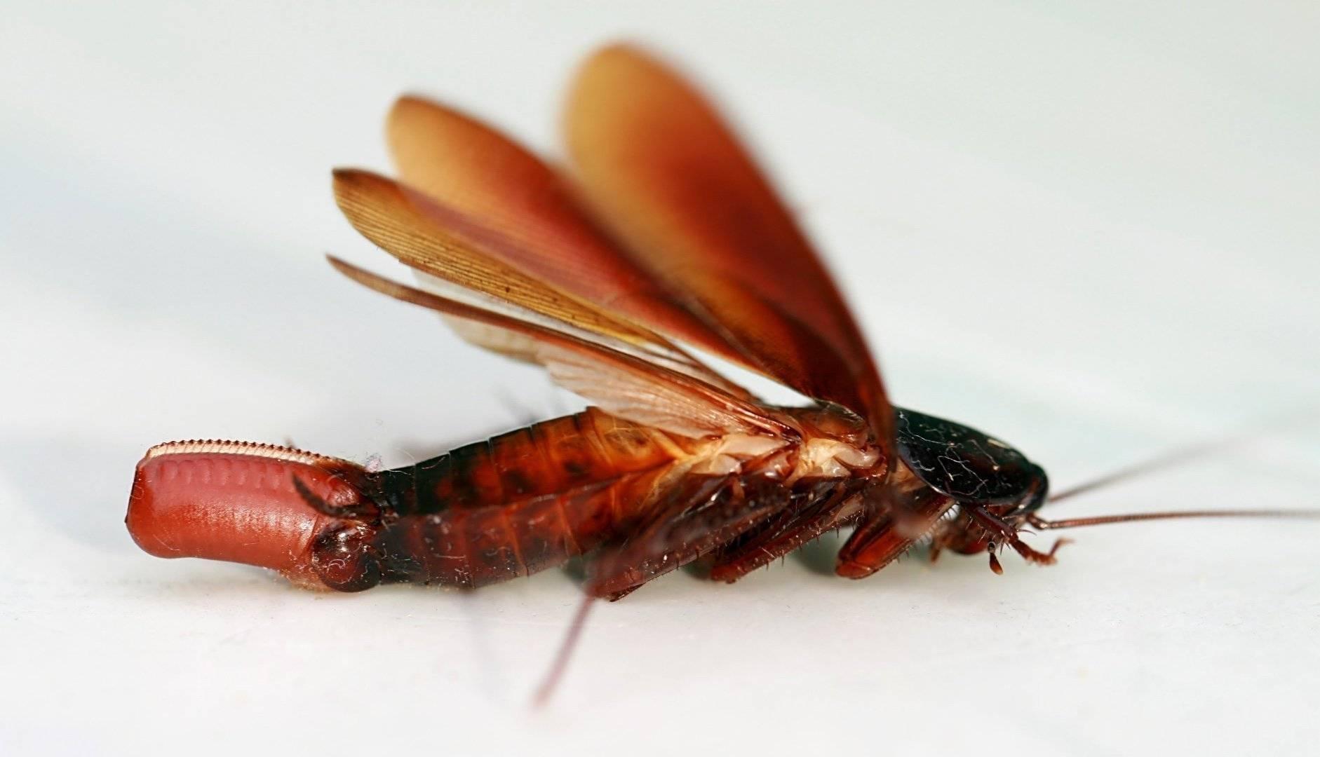 Как выглядят разновидности тараканов
