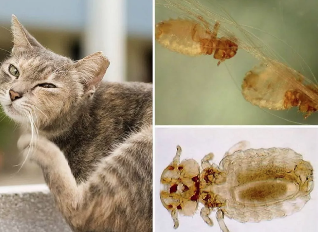 Кошачьи вши передаются человеку — рассматриваем детально