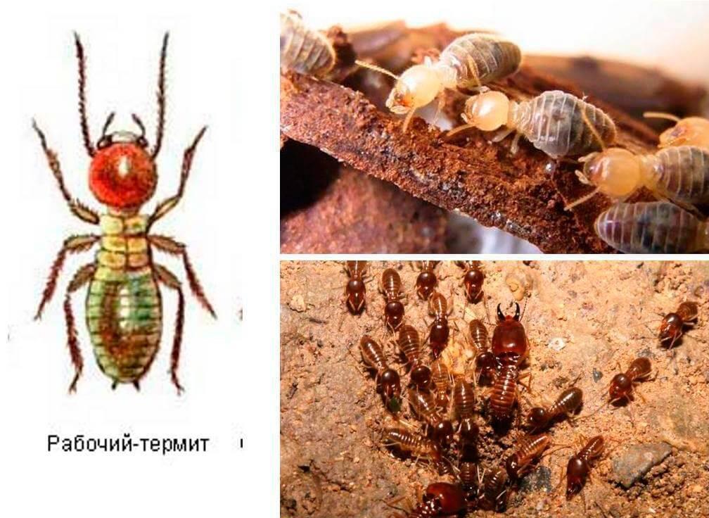 Термиты в доме: подборка методов борьбы