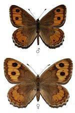 Бабочка тополевый ленточник – редкий вид, нуждающийся в нашей защите